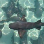 requin excursion Caraibes